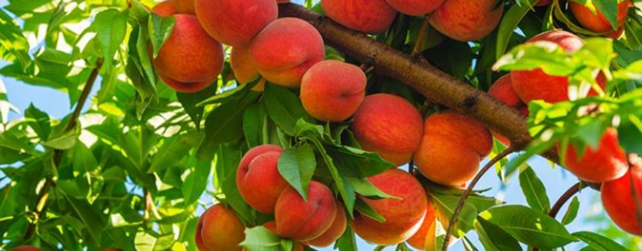 Best Fertilizer for Fruit Trees