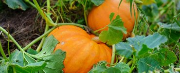 Best Fertilizer for Pumpkins