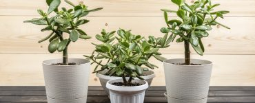 Best Pots For Jade Plants
