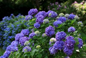 Top 10 Best Fertilizer for Hydrangeas