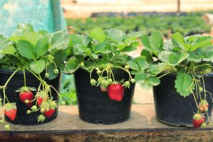 Best Pots for Strawberries